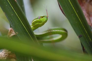 Taiwan green bamboo pit viper, (Trimeresurus stejnegeri) endemic species,Kenting National Park, Taiwan