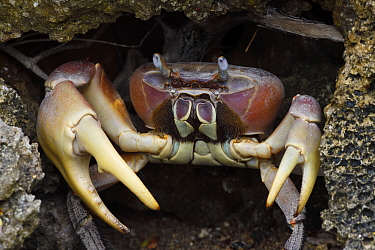 Taiwan's largest land crab species (Cardisoma carnifex) Banana Bay Forest Rerserve, Kenting National Park, Taiwan