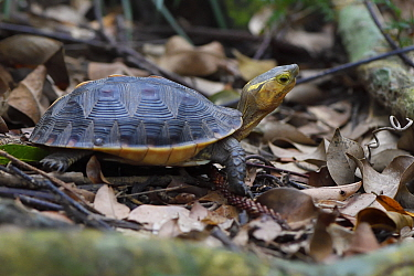 Chinese Box turtle or Yellow-margined turtle, (Cuora flavomarginata), Banyan garden protected forest, Kenting National Park, Taiwan