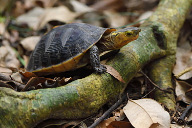 Chinese Box turtle / Yellow-margined turtle, (Cuora flavomarginata), Banyan garden protected forest, Kenting National Park, Taiwan