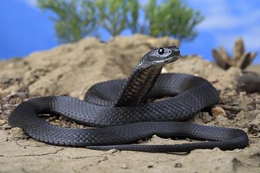 Kangaroo Island tiger snake (Notechis scutatus) female coiled on rock, melanotic sub-adult. Kangaroo Island, South Australia. Controlled conditions.