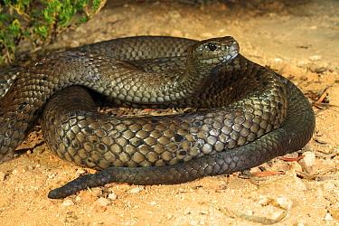 Peninsula brownsnake (Pseudonaja inframacula) male coiled up. Yorke Peninsula, South Australia. Controlled conditions.