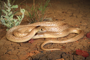 Speckled brownsnake (Pseudonaja guttata) male, morph with black nape. Central Queensland, Australia. Controlled conditions.