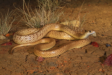 Speckled brownsnake (Pseudonaja guttata) male, morph with reticulated pattern. Central Queensland, Australia. Controlled conditions.
