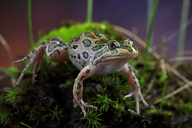 Spotted marsh frog (Limnodynastes tasmaniensis) female on moss. Melbourne, Victoria, Australia. Controlled conditions.