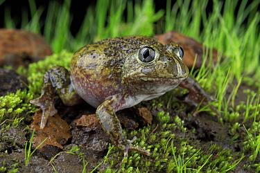 Sudell's burrowing frog (Neobatrachus sudellae) male amongst moss. Locally rare species under threat from housing development in the Merri Creek corridor. Melbourne, Victoria, Australia. Controlle...