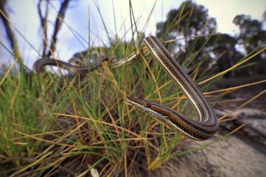 Burton's legless lizard (Lialis burtonis) basking in hummock grass in mallee / heathland. Near Pinnaroo, Murray Mallee, South Australia.
