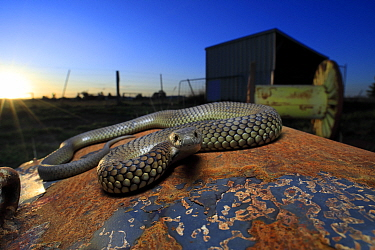 Lowland copperhead snake (Austrelaps superbus) male basking on rusty trailer, on farm at sunset. Melbourne, Victoria, Australia.