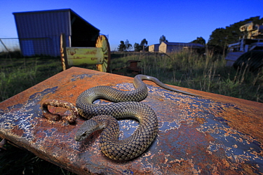 Lowland copperhead snake (Austrelaps superbus) male basking on rusty trailer, on farm in evening. Melbourne, Victoria, Australia.