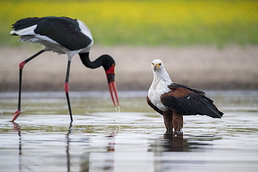 African fish eagle (Haliaeetus vocifer) scans the surface of a waterhole for any signs of a swimming fish, while a passing Saddle-billed stork (Ephippiorhynchus senegalensis) searches for a fish in th...