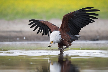 African fish eagle (Haliaeetus vocifer) grabs a fish for a meal, that had recently been caught by a Saddle-billed stork (Ephippiorhynchus senegalensis), after the eagle had pressurised the stork into...