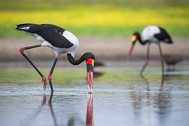 Saddle-billed stork (Ephippiorhynchus senegalensis) sweeps a waterhole, searching for fish. Liuwa Plain National Park, Zambia.