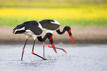 Saddle-billed storks (Ephippiorhynchus senegalensis) sweep a waterhole, searching for fish. Liuwa Plain National Park, Zambia.