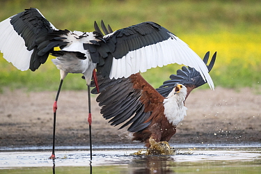 African fish eagle (Haliaeetus vocifer) battles to keep a freshly caught fish, stolen for a meal from a Saddle-billed stork (Ephippiorhynchus senegalensis). Liuwa Plain National Park, Zambia