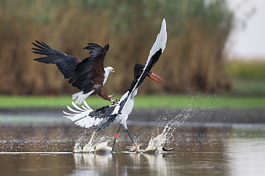 African fish eagle (Haliaeetus vocifer) pressurises a Saddle-billed stork (Ephippiorhynchus senegalensis) into dropping a freshly caught fish, so that it can be stolen for a meal. Liuwa Plain National...