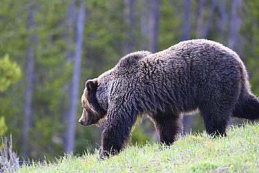 Grizzly (Ursus arctos horribilis) bear moving through forested areas in the Bridger-Teton National Forest, Wyoming, USA. May.