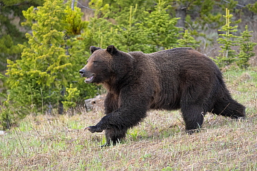 Grizzly (Ursus arctos horribilis) large male moving fast, Bridger-Teton National Forest, Wyoming, USA. May.