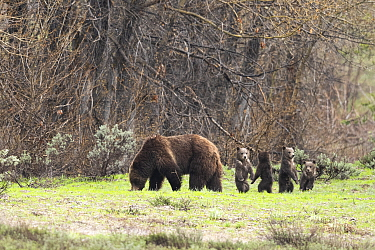 Famous grizzly (Ursus arctos horribilis) and her 4 cubs, along Pilgrim Creek. Grand Teton National Park, Wyoming, USA. May.