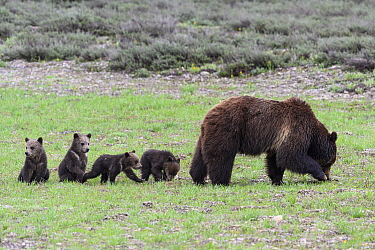 Grizzly bear (Ursus arctos horribilis) and her 4 cubs of the year along Pilgrim Creek. Grand Teton National Park, Wyoming, USA. May.