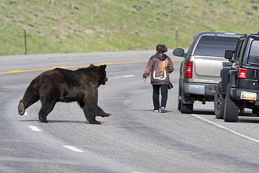 Tourists and Grizzly bear (Ursus arctos horribilis) on Togwotee Pass in the Bridger-Teton National Forest, Wyoming, USA. May.