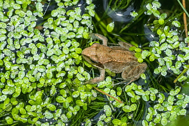 Common froglet (Rana temporaria) recently metamorphosed from a tadpole. London, UK