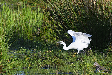 Little egret (Egretta garzetta) hunting a Migrant hawker (Aeshna mixta) dragonfly on marshy pastureland, Catcott Lows National Nature Reserve, Somerset, UK, September.