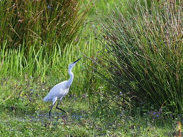 Little egret (Egretta garzetta) hunting a Migrant hawker dragonfly (Aeshna mixta) on marshy pastureland, Catcott Lows National Nature Reserve, Somerset, UK, September.