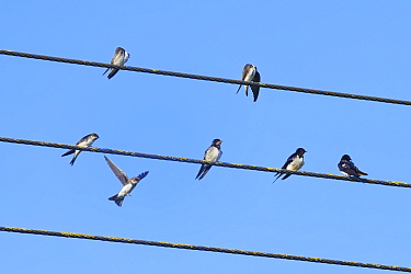 Sand martin (Riparia riparia) landing to join others and three Swallows (Hirundo rustica) perched on power lines as a mixed species group of hirundines gathers ahead of their autumn migration, Glouces...