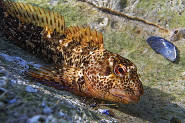 Close up view of a Common Blenny / Shanny (Lipophrys pholis) in a rock pool, The Gower, Wales, UK, September.