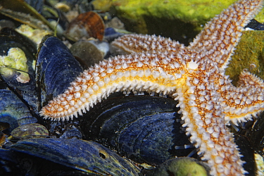 Common Starfish (Asterias rubens) in a rock pool moving over Mussel shells, low on the shore, The Gower, Wales, UK, July.