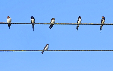 Swallow (Hirundo rustica) group and a House martin (Delichon urbicum) perched on power lines gathering ahead of their autumn migration, Gloucestershire, UK, September.