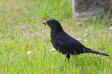 Blackbird (Turdus merula) male foraging on a churchyard lawn with one Leatherjacket (Tipula sp.) in its beak but looking for more, Lacock, Wiltshire, UK, May.
