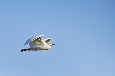 Cattle egret (Bubulcus ibis) flying overhead, Somerset Levels, UK, September.