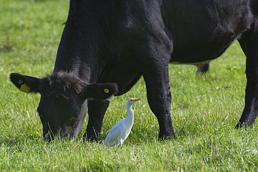 Cattle egret (Bubulcus ibis) adult foraging for invertebrates as it follows a grazing Bullock (Bos taurus) on pastureland, Somerset Levels, UK, September.