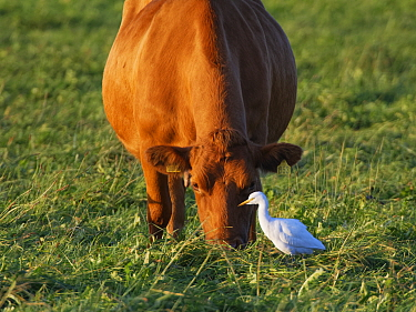 Cattle egret (Bubulcus ibis) adult foraging for invertebrates as it follows a grazing Cow (Bos taurus) on pastureland, Somerset Levels, UK, September.