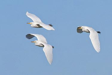 Cattle egret (Bubulcus ibis) group flying overhead, Somerset Levels, UK, September.
