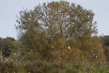 Cattle egrets (Bubulcus ibis) flying in to join others and some Great cormorants (Phalacrocorax carbo) roosting in a Willow tree at dusk, Somerset Levels wetland, UK, September.