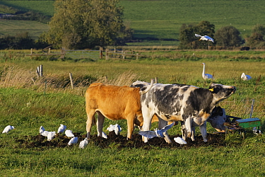 Cattle egret (Bubulcus ibis) landing to join a group foraging for invertebrates near Cattle (Bos taurus) on pastureland, Somerset Levels, UK, September.
