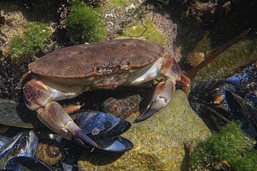 Edible crab (Cancer pagurus) juvenile on the move in a rock pool, The Gower, Wales, UK, July.