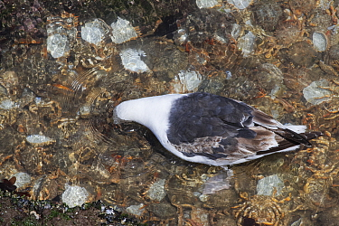 Great black-backed gull (Larus marinus) subadult looking for living prey while wading in a rock pool crammed with cast shells of moulted Spiny spider crabs (Maja squinado) on a very low spring tide on...