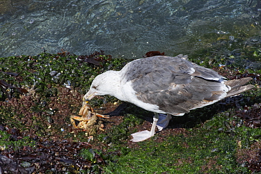 Great black-backed gull (Larus marinus) subadult feeding on a Spiny spider crab (Maja squinado) it has just caught on a very low spring tide on a rocky shore, The Gower, Wales, UK, July.