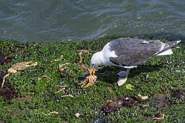 Great black-backed gull (Larus marinus) adult feeding on a Spiny spider crab (Maja squinado) it has just caught on a very low spring tide on a rocky shore, The Gower, Wales, UK, July.