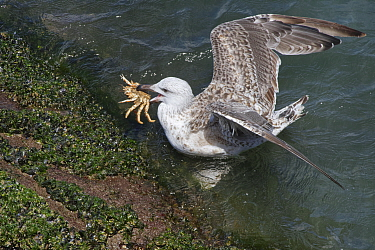 Great black-backed gull (Larus marinus) juvenile swimming to shore with a Spiny spider crab (Maja squinado) it has just caught on a very low spring tide, The Gower, Wales, UK, July.