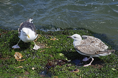 Great black-backed gull (Larus marinus) juvenile approaching a subadult standing over a Spiny spider crab (Maja squinado) it has just caught and is feeding on during a very low spring tide near a rock...