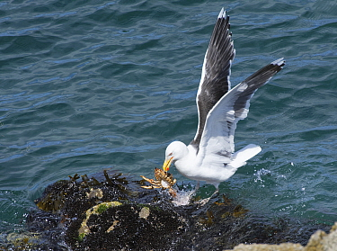 Great black-backed gull (Larus marinus) landing on a rocky shore with a Spiny spider crab (Maja squinado) it has just caught on a very low spring tide, The Gower, Wales, UK, July.