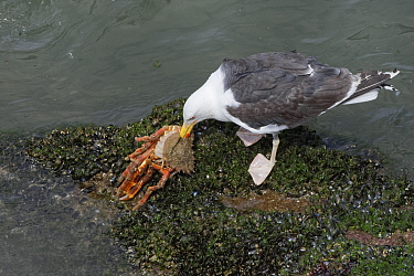 Great black-backed gull (Larus marinus) adult feeding on a large, soft recently moulted male Spiny spider crab (Maja squinado) it has just caught on a very low spring tide, The Gower, Wales, UK, July.