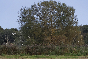 Great white egret (Egretta alba / Ardea alba) flying in to join Cattle egrets (Bubulcus ibis) and some Great cormorants (Phalacrocorax carbo) roosting in a Willow tree at dusk, Somerset Levels wetland...
