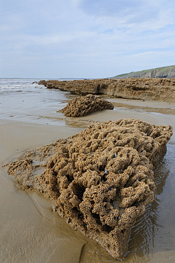 Honeycomb worm reef (Sabellaria alveolata) with clustered tubes built of sand grains attached to boulders, exposed at low tide with the sea in the background, Dunraven Bay, Glamorgan, Wales, September...