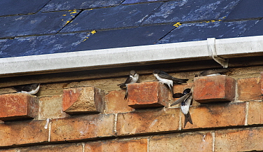 House martins (Delichon urbicum) perching on bricks under house eaves as a group gathers ahead of their autumn migration, Gloucestershire, UK, September.