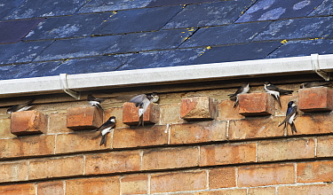 House martins (Delichon urbicum) flying up to and perching on bricks under house eaves as a group gathers ahead of their autumn migration, Gloucestershire, UK, September.